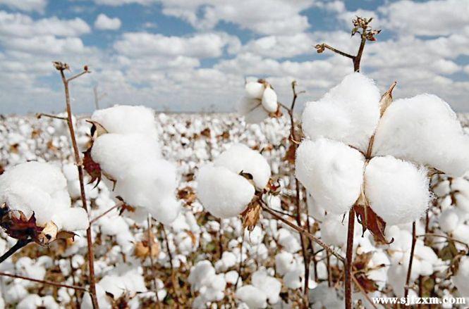 贸易战正式打响!美棉进口优势不再,谁将上位我国棉花市场?